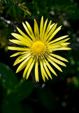 Close-up of horseheal (Inula) Stock Photography