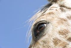 Close up of horses eye Stock Image