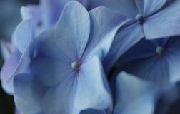 Close up of Hortensia Stock Photos