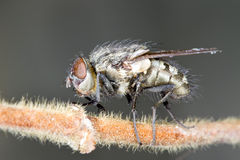 close-up of House fly Stock Photo