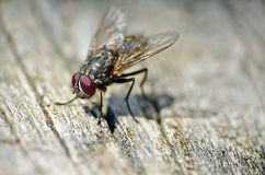 Close up of a house fly. On a wooden background Stock Photos