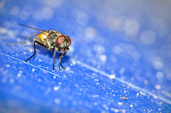 Close up of a house fly Royalty Free Stock Images