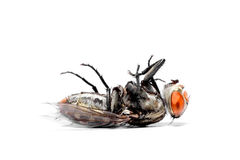 close-up of House fly Stock Photography