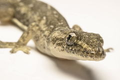 Close up, the house lizard, Thailand.  Stock Photo