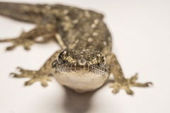 Close up, the house lizard, Thailand.  Royalty Free Stock Photos