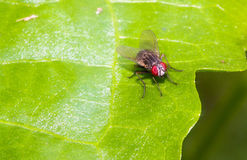 Close up Housefly on green leaf Royalty Free Stock Images