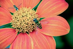 Close up of 2 hover flies collecting nectar on a beautiful red and orange Dahlia Coccinea in the garden stock images