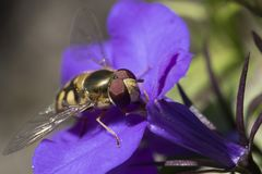 Hover fly head close up. Close up of hover fly head on blue flower royalty free stock image