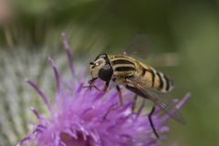 Hover fly close up of head. Close up of hover fly head detail on purple flower stock photography