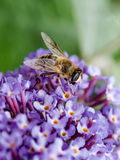 Close up of Hoverfly feeding on Buddleia flower. Stock Photos