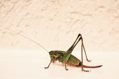 Close-up of a huge grasshopper. Close up of a huge green, orange and yellow grasshopper with long antennae royalty free stock photography