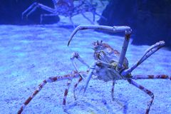 Close up of a huge spider crab with long thin tentacles in an aquarium on the sand. Bottom view. Close up of a huge spider crab with long thin legs in an royalty free stock photos
