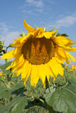 Close Up of Sunflower with Bee. Close up of a huge yellow and gold sunflower with a honey bee gathering pollen in the foreground with multiple flowers and blue Royalty Free Stock Images