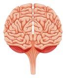 Close up human brain Royalty Free Stock Photo