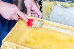 Close up of human hand extracting honey from honeycomb Royalty Free Stock Images