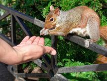 Closeup human Hand feeding squirrel in New York City at park. Close up human Hand feeding squirrel in New York City at park stock photo