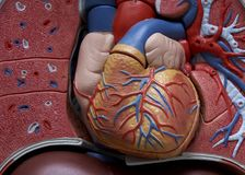 Close-up of human model upper body. Showing cardiovascular system royalty free stock photography