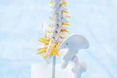 Close up human pelvis skeleton model. Medical clinic, education concept. Selective focus. Space for text Stock Image
