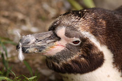 Close-up of a Humboldt Penguin Royalty Free Stock Photos
