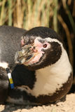 Close up of a Humboldt penguin Stock Image