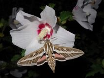 Free Close Up Hummingbird Hawk-moth  Macroglossum Stellatarum Drinking Nectar From Flower Royalty Free Stock Image - 178712876