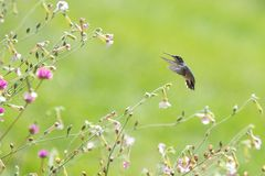 Hummingbird in nature stock photo