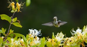 Face View of a Hummingbird with it`s Tongue Out royalty free stock photos