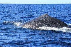 Close up of Hump and back of Deep diving Hump Back Whale Australia Stock Photo
