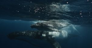 Close-up of humpback whale calf with mother underwater ocean. Whale in pure transparent water of Reunion island. Footage stock video
