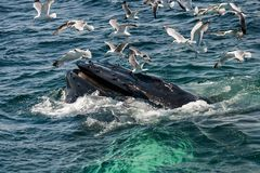 Humpback Whale Megaptera novaeangliae. A close up of a Humpback Whale feeding in Cape Cod Massachusetts Royalty Free Stock Images