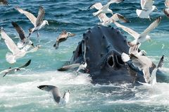 Humpback Whale Megaptera novaeangliae. A close up of a Humpback Whale feeding in Cape Cod Massachusetts Stock Photography