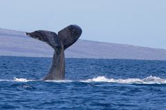 Humpback Whale Tail in Hawaii Ocean Seascape. Close up humpback whale tail prepares to slap ocean surface with island in background stock images