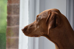 Close-up of Hungarian Vizsla staring through window Stock Photography