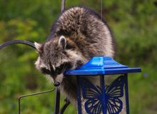 Coon Invader! A series of images. Close up of a hungry raccoon munching hungrily from a bird feeder Royalty Free Stock Image