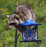 Coon Invader! A series of images. Close up of a hungry raccoon munching hungrily from a bird feeder Stock Photography