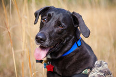 Close up of hunting dog. Close up of a black labrador hunting dog in a grass field Stock Images