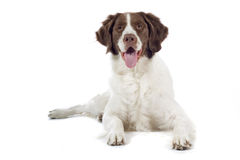 Close up of hunting dog. Isolated on white background Royalty Free Stock Images