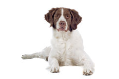Close up of hunting dog Stock Photos