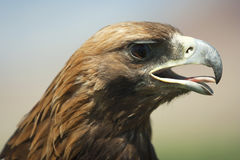 A close-up of a hunting eagle. Stock Photo