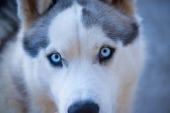 Close-up of Husky Royalty Free Stock Photos