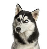 Close-up of a Husky Royalty Free Stock Image