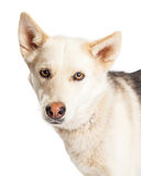 Close-up Husky Shepherd Crossbreed Royalty Free Stock Images