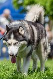 Close up of a husky with very blue eyes walking on grass royalty free stock photography