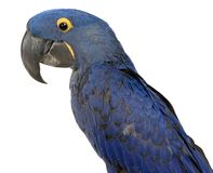 Close-up of a Hyacinth Macaw Parrot Stock Photography