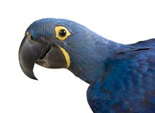 Close up of a Hyacinth Macaw Parrot Stock Photos