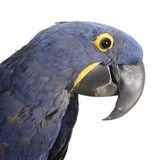 Close up of a Hyacinth Macaw Parrot Royalty Free Stock Image