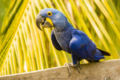 Close up Hyacinth Macaw Perching feliz na frente da palma fotos de stock