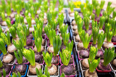 Close up of hyacinths seedlings at greenhouse Royalty Free Stock Photo