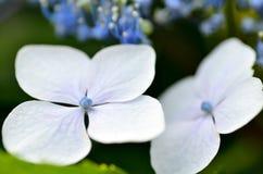 Close-up of hydrangea. Royalty Free Stock Image