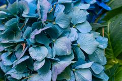 Blue close up hydrangea Royalty Free Stock Photos